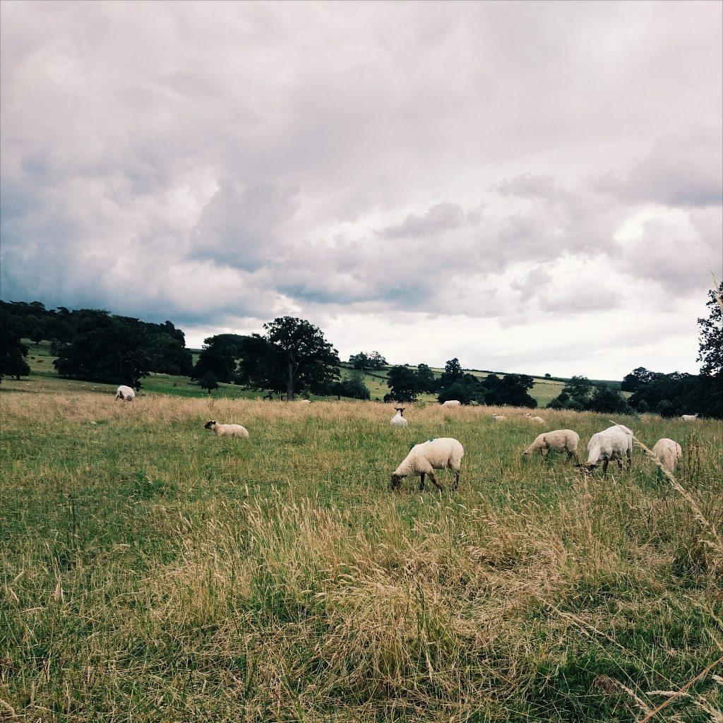 Bath Spa University sheep